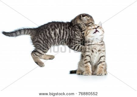 two funny young kittens play together