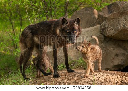 Black Wolf (canis Lupus) And Pups Stand At Den Entrance