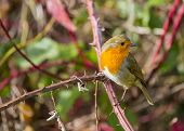 image of red robin  - Robin Red Breast spotted in Dublin - JPG