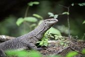 foto of goanna  - Large monitor lizard in jungle - JPG