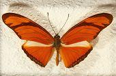 Постер, плакат: Heliconius Julia Butterfly