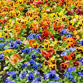 image of viola  - viola tricolor pansy - JPG