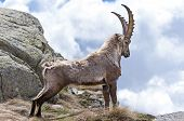 picture of stein  - Alpine Ibex  - JPG