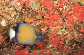 picture of angelfish  - Ringed Angelfish - JPG
