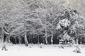 picture of siberia  - snow winter time in deep Siberia forest - JPG