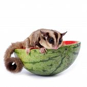 picture of possum  - sugar glider enjoy eating watermelon isolated on white - JPG