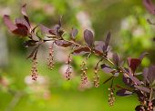 pic of barberry  - A branch of European barberry  - JPG