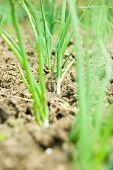 Spring Onion In Soil