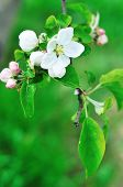 Fresh Apple Blossom