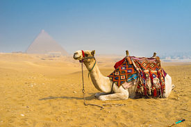 stock photo of camel  - The camel is the great addition to the desert landscape of Giza Egypt - JPG