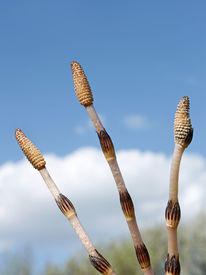stock photo of spores  - Three young shoots of horsetail  - JPG