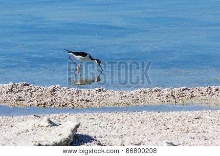 Black Neck Stilt (himantopus Mexicarus)