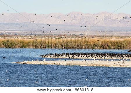 Eared Grebes, Salton Sea, California