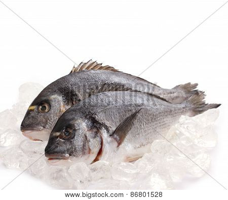 Two Fresh Gilt-head Isolated On Ice