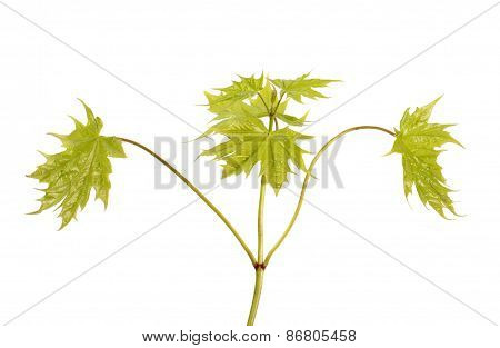 Young Maple Branch