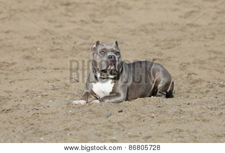 Pitbull lying in the sand