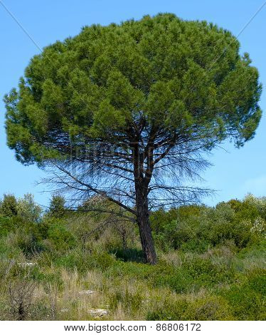 Mediterranean pine tree on the countryside of apulia