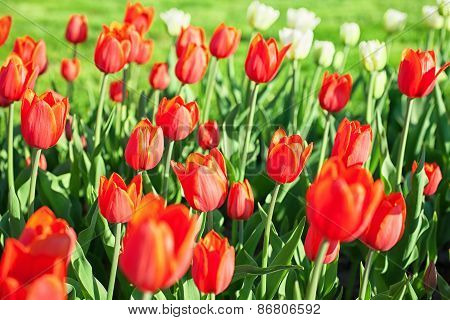 Background With Bright Red Tulips