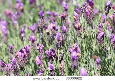 Jagged lavenders,Fern leaf lavenders
