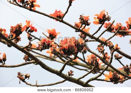 Flowers of red silk-cotton tree