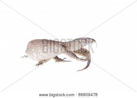 Nile Monitor On White Background