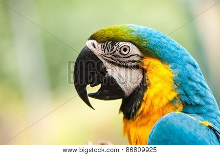 Blue & Gold Macaw parrot face