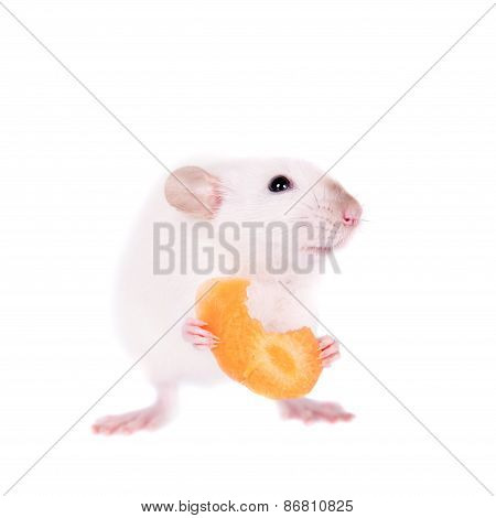 White Laboratory Rat Eating Carrot