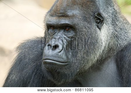 Side face portrait of a gorilla male, severe silverback.