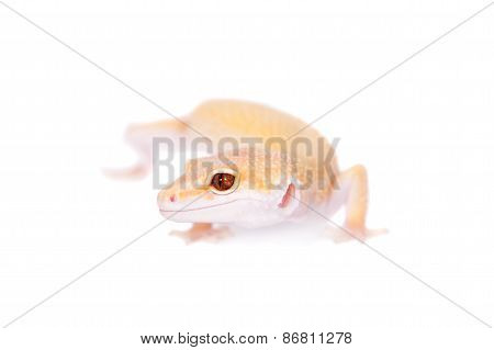 Albino Leopard Gecko On A White Background