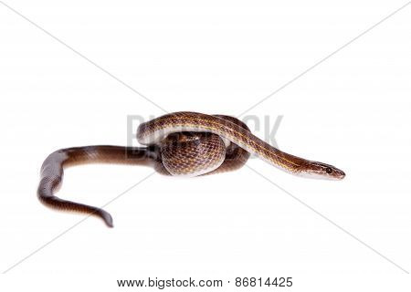 Striped House Snake On White Background
