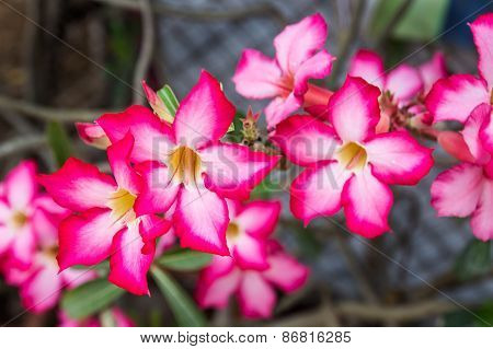 Close Up Adenium Obesum Flower