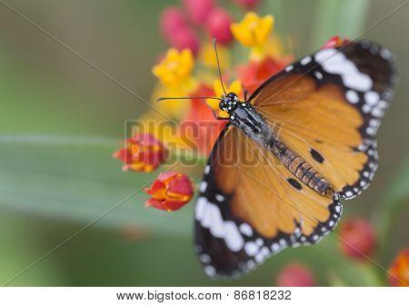 Monarch danus plexippus
