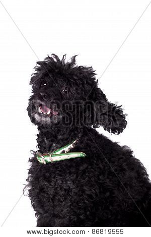 Black Poodle Dog On White