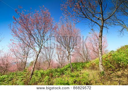 Sakura Flowers Blooming Blossom At Phu Lom Lo, Loei Province In Thailand