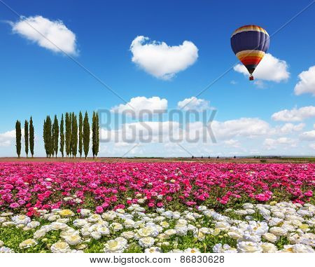 Field of the blossoming buttercups - ranunculus of white and lilac color.  Huge balloon flies over a field in windy spring day