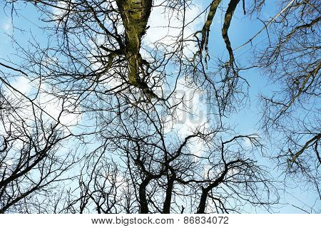 Looking up into blue sky through canopy of tall trees