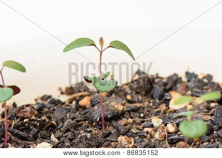 Sprout Of Lemon Eucalyptus