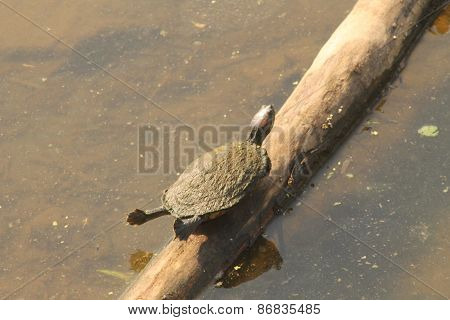 Sun bathing Turtle