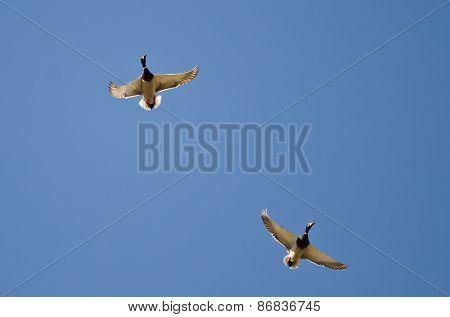 Pair Of Male Mallard Ducks Flying In A Blue Sky