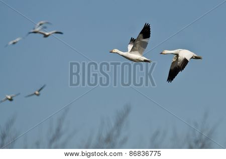 Snow Geese Flying Over The Marsh On A Sunny Day