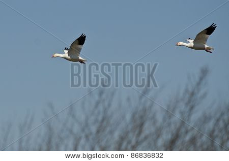 Pair Of Snow Geese Landing In The Marsh