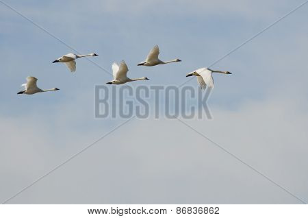 Flock Of Tundra Swans Flying High Above The Clouds
