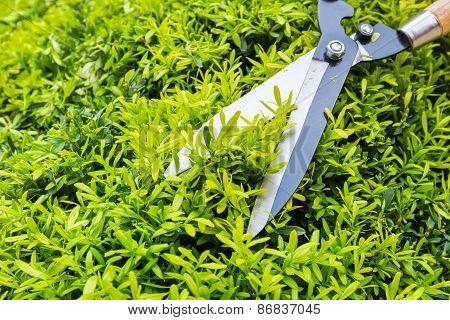 Gardening Pruning Closeup