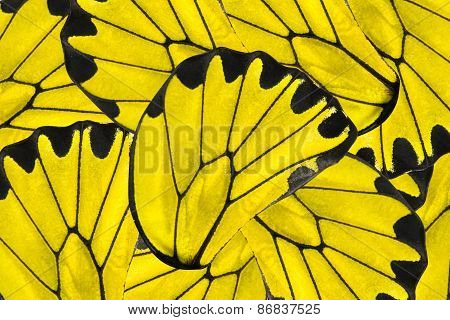 Yellow And Black Background Of Golden Birdwing Butterfly