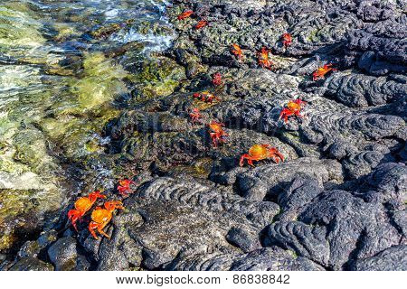 Crabs On Volcanic Rock