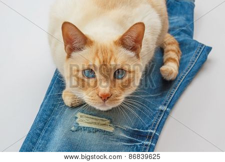 Cat On Blue Jeans
