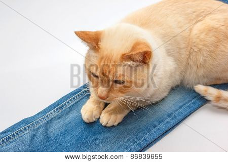 Ginger Cat On Jeans