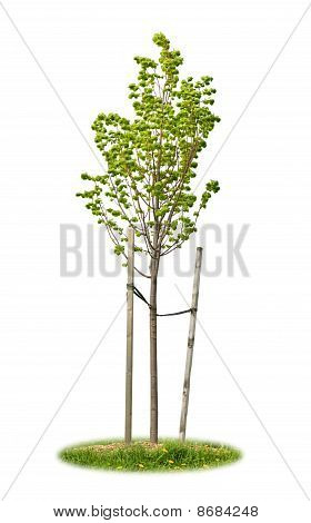 Isolated Young Linden Tree