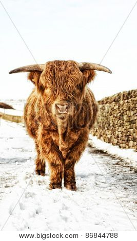 Highland Cow Stood in Snow