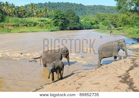 Herds Of Elephants Bathing In The River